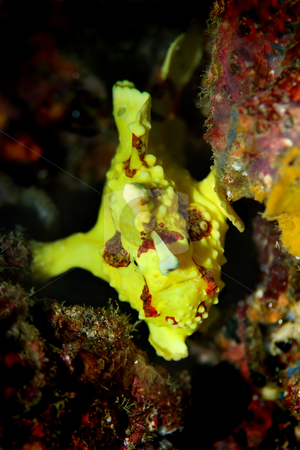 Clown Anglerfish  stock photo, A clown anglerfish (frogfish) hiding at Palong divesite on Phi Phi Thailand by Kjersti Jorgensen