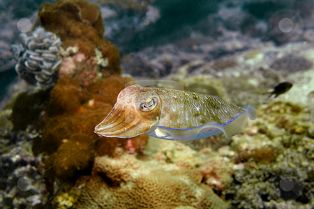 Cuttlefish stock photo, Cuttlefish at Palong divesite, Phi Phi, Thailand by Kjersti Jorgensen
