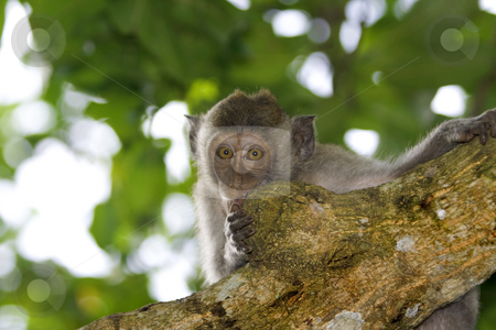 Macaque monkey  stock photo, A macaque monkey in Bali, Indonesia by Kjersti Jorgensen