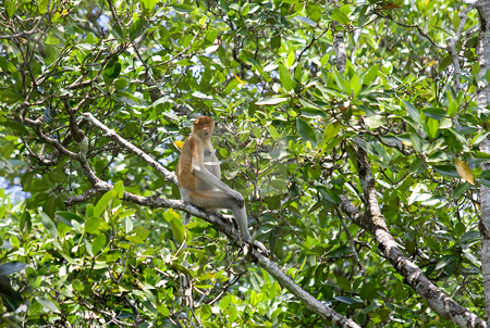Proboscis monkey stock photo, A rare proboscis monkey in the mangrove, Kota Kinabalu by Kjersti Jorgensen