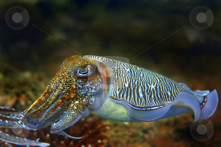 Cuttlefish stock photo, Cuttlefish at Palong divesite, Phi Phi, Thailand by Kjersti Jorgensen