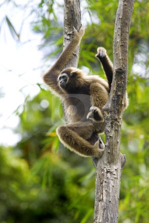 Gibbon monkey  stock photo, A Gibbon monkey in Kota Kinabalu, Borneo, Malaysia by Kjersti Jorgensen