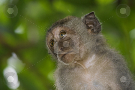 Macaque monkey  stock photo, A macaque monkey in Bali, Indonesia by Kjersti Jorgensen