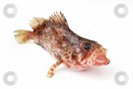 Fresh fish stock photo, Fresh red fish on white background by Nataliya Taratunina