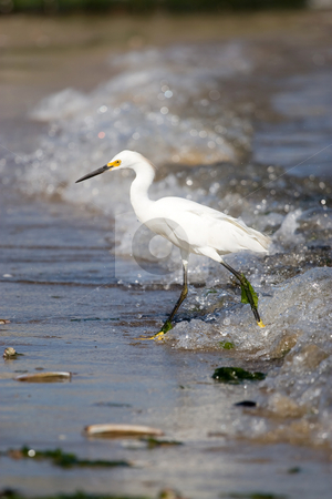 Snowy Egret stock photo, A young snowy egret bird walking along the beach hunting for a meal. by Todd Arena