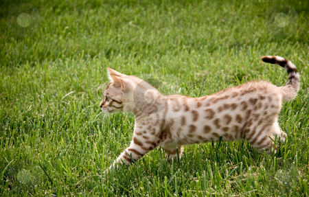 Young bengal kitten stock photo, Bengal kitten stalking its prey through the grass by Steven Heap