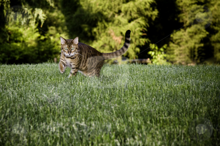 Bengal Cat in grass stock photo, Bengal cat breed dramatically stalking the camera through the grass by Steven Heap