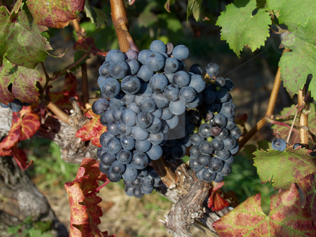 Close up of a bunch of grapes stock photo, Bunch of grapes on vine by Steven Heap