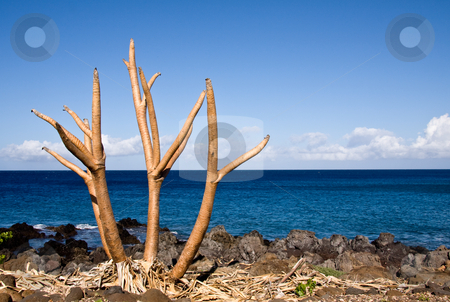 Bare tree limbs by the ocean stock photo, Bare plant by the side of the ocean on Big Island of Hawaii by Steven Heap