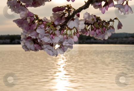 Cherry Blossom in front of sunset stock photo, Close up of cherry blossoms with a sunset behind over the water by Steven Heap