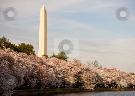 Washington Monument with cherry blossom stock photo, Washington Monument with a layer of cherry blossom flowers at the base and reflection in Tidal Basin by Steven Heap