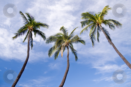 Three palm trees stock photo, Triplet of palm trees leaning into the center with blue sky by Steven Heap