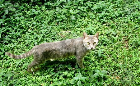 Wild cat in leaves stock photo, Wild feline staring at camera in shrubbery or undergrowth by Steven Heap