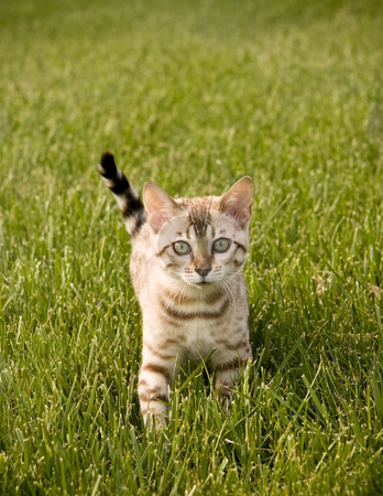Bengal Kitten facing camera stock photo, Young Bengal Kitten facing the camera as it strolls through the grass by Steven Heap