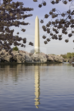 Washington Monument framed with Cherry Blossoms stock photo, Cherry Blossoms framing the Washington Monument by Steven Heap