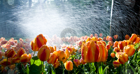 Tulips against spray stock photo, Garden of tulips against the light with water spray adding brilliance by Steven Heap