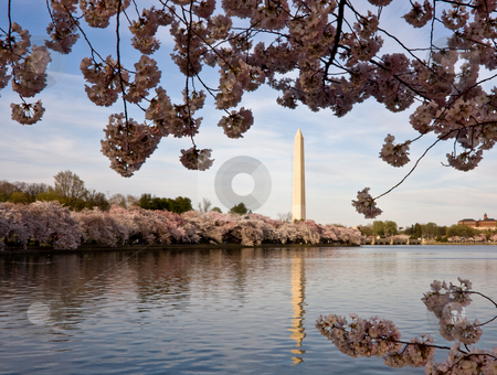 Cherry Blossoms framing Washington Monument stock photo, Washington Monument with a layer of cherry blossom flowers at the base and reflected in Tidal Basin by Steven Heap