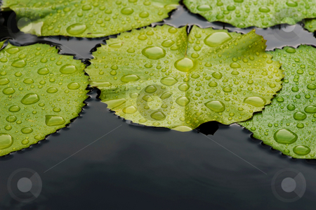 Rain and lily pads stock photo, Drops of rain collected on the surface of lily pads, floating on the water by Gerry Daniel