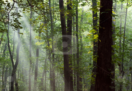 Through the forest stock photo, Rays from the morning sun shining through the trees in the forest by Gerry Daniel