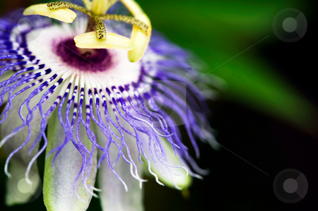 Passion flower in bloom stock photo, Passion flower in full bloom in the late afternoon sun by Gerry Daniel