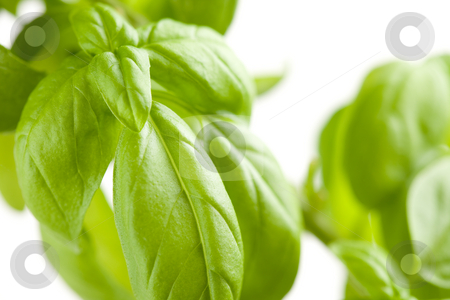 Fresh Basil Plant Leaves Abstract stock photo, Fresh Basil Plant Leaves Abstract Growing on the Vine. by Andy Dean