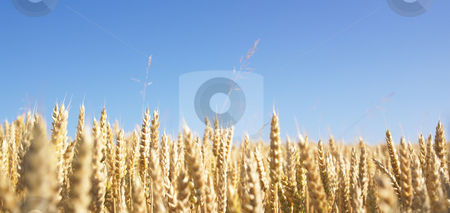 Wheat Field stock photo, Wheat field and blue sky. Panoramic shot. by Mog Ddl