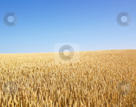 Wheat Field stock photo, Wheat field and blue sky. Horizontally framed shot. by Mog Ddl
