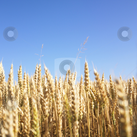Wheat Field stock photo, Wheat field and blue sky. Square format. by Mog Ddl