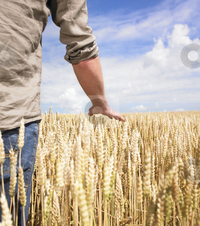 Hand and wheat stock photo, Hand touching top of wheat field by Mog Ddl