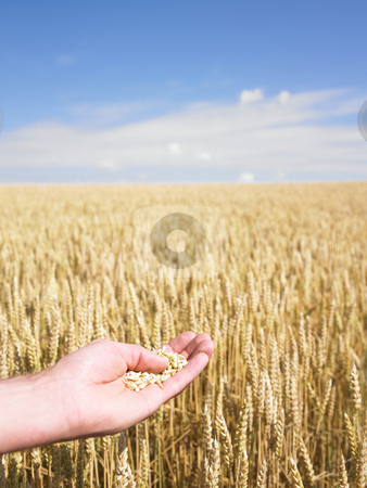 Hands and wheat stock photo, Close-up of hands touching wheat over field by Mog Ddl