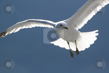 Flying seagull stock photo, White bird or seagull in flight and with it's wings spread out fully by Anders Peter