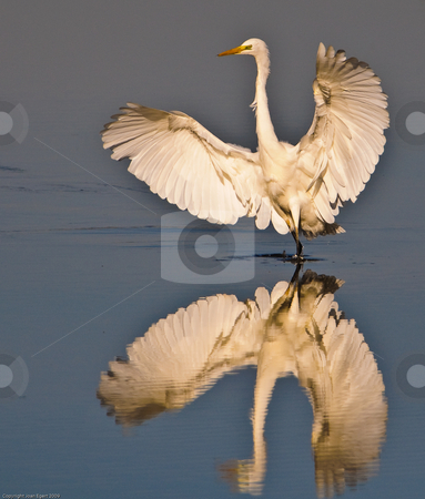 Great White Egret (Egretta alba) stock photo, Great White Egret hunting at the Delta del Ebro nature park in northeast Spain by Juan Egert