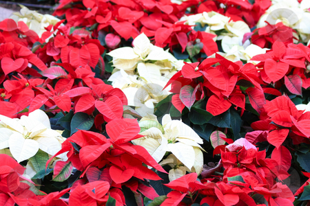 Red and white poinsettia stock photo, A group of red and white poinsettia, the christmas plant by Porto Sabbia