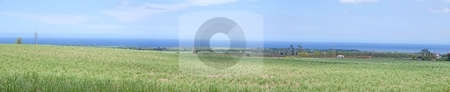 Stock Photo of panoramic view of sugarcane field  stock photo, Panoramic view of sugarcane plants with beautiful cloudy background on the island of Mauritius. by Gowtum Bachoo