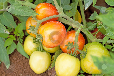 Ripe tomatoes ready for harvest stock photo, The tomato (Solanum lycopersicum, syn. Lycopersicon lycopersicum by Gowtum Bachoo
