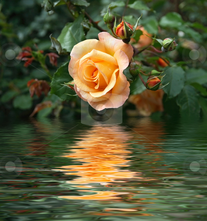 Yellow rose stock photo, Yellow rose between buds and foliage is reflected on water by ANTONIO SCARPI