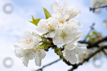 Cherry tree flowers stock photo, Spring blossom cherry tree flowers and sky by ANTONIO SCARPI