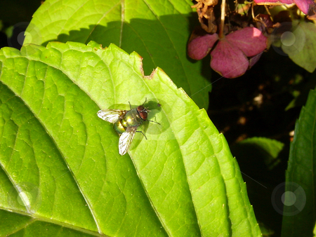The green fly stock photo, The green fly has settled down to get warm on the sun by Vadim Tsyba