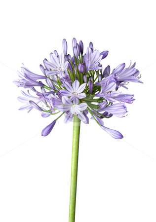 Agapanthus blue on white background stock photo, Agapanthus blooms with umbrella like flower clusters of funnel shaped flowers on tall leafless stalks.  Space for copy. by Leah-Anne Thompson
