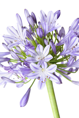 Agapanthus - African Lily stock photo, Agapanthus flowerhead showing both flowers and buds - closeup by Leah-Anne Thompson