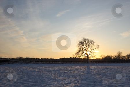 Winter ash tree with snow stock photo, A single ash tree on a colorful winter evening with snow and hedgerows by Mike Smith