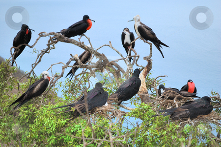 Colonia Fregata magnificens stock photo, Colonia Fregata magnificens, Male magnificent frigate birds, with selected nesting sites and with throat pouch inflated. Isla Plata, Ecuador. by Nataliya Taratunina