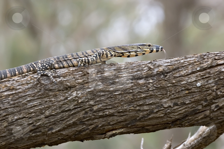 Lace monitor with tonque out stock photo, Lace monitor tonque out by Phil Morley