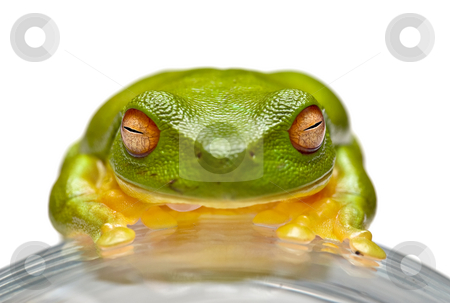 Green tree frog stock photo, A nice big green tree frog sits on glass by Phil Morley