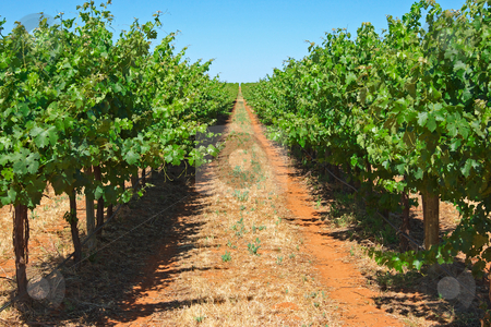Grape vines stock photo, Green grape vines stretch out to the horizon by Phil Morley