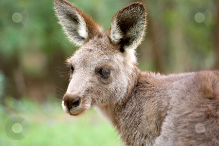 Eastern grey kangaroo stock photo, An image of an small eastern grey kangaroo in the wild by Phil Morley