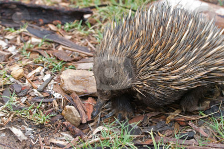 Australian echidna anteater stock photo, An australian echidna wanders along the ground by Phil Morley
