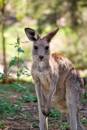 Eastern grey kangaroo stock photo, An image of an small eastern grey kangaroo in the wild by Phil Morley