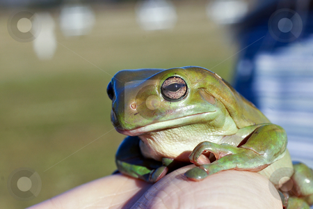 Big old frog stock photo, A big old wise green tree frog (litoria caerula) being held up by Phil Morley
