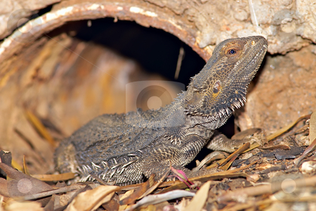 Central bearded dragon stock photo, A central bearded dragon coming out of its den by Phil Morley